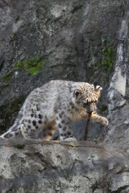 多摩動物公園111029-ユキヒョウの子供達 アサヒちゃん-13