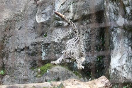多摩動物公園111029-ユキヒョウの子供達 ムササビジャンプ7-01