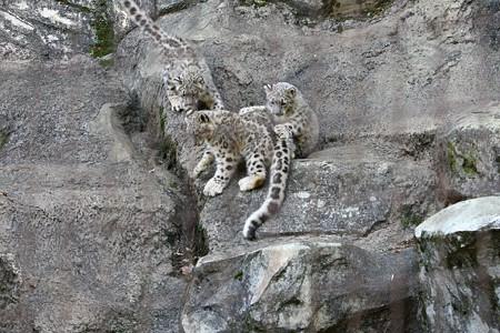 多摩動物公園111029-ユキヒョウの子供達 押すなよぉ1-02