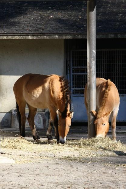 多摩動物公園111225-モウコノウマ 左フルール右エーコ-01