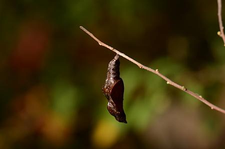 タテハチョウ科 コミスジ蛹