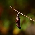 写真: タテハチョウ科 コミスジ蛹