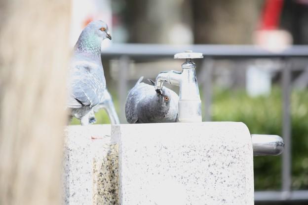 写真: 水道で水を飲むドバト