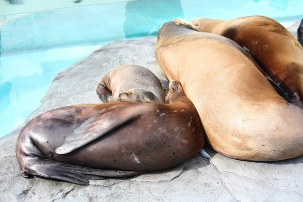 写真: カリフォルニアアシカのお昼寝