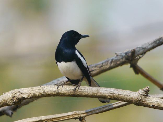シキチョウ(Oriental Magpie Robin) P1150746_R.jpg