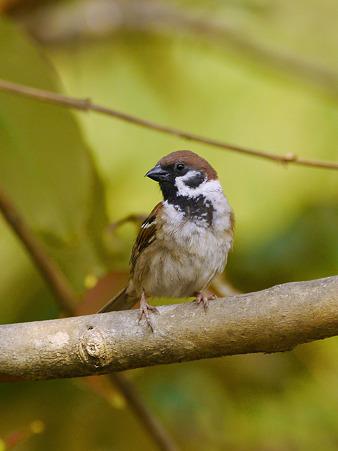 スズメ(Eurasian Tree-sparrow) P1080762_R