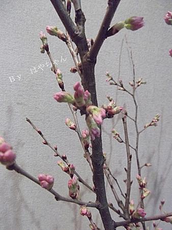 2012年3月26日 桜 アップ