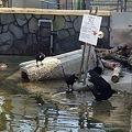 写真: 東山動植物園_05:ビーバーとその餌を狙うカラス