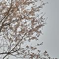 Photos: Cherry_Blossoms04082012sd15-01