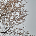 Cherry_Blossoms04082012sd15-01