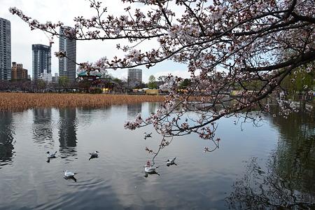 鳥たちと桜@不忍池[4/4]