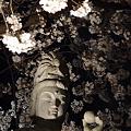 写真: 本誓寺の夜桜 05