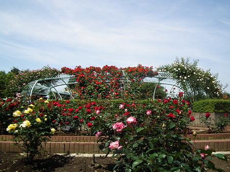 25智光山薔薇