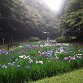 Photos: 1明治神宮・花菖蒲