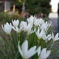 Photos: 玉簾(タマスダレ)
