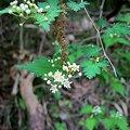 Photos: コゴメウツギ(Neillia incisa (Thunb.) S.H.Oh)