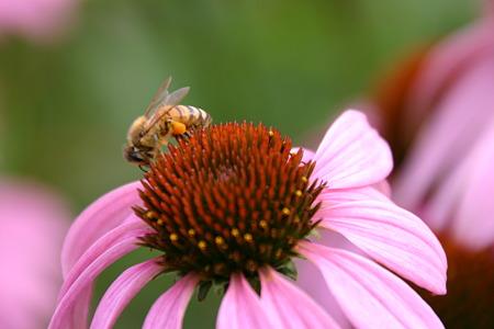 ハチとムラサキバレンギク