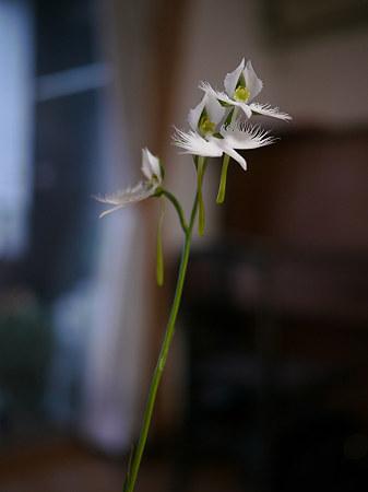 サギ草、揃い咲き1