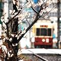 小雨桜(2)