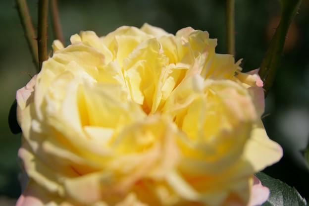 IMG_6041ばら園・薔薇(トロピカル シャーベット)