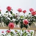 Photos: IMG_6124ばら園・薔薇(つるクィーン エリザベス)