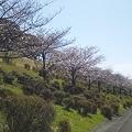 みたま園の桜1