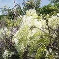 我が家の藤の花2