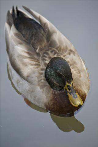 Photos: 考える鴨
