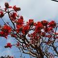 Photos: デイゴの花