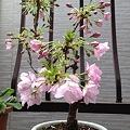 写真: 桜、かわいいのー!