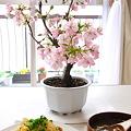 写真: 今日は間近でお花見ご飯でした。いや~うれしい!