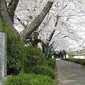 Photos: 大昌寺参道の桜-1