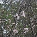 Photos: 11月8日「十月桜」