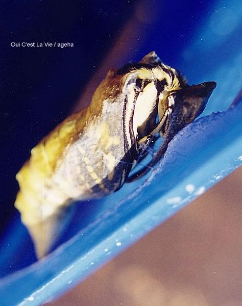 キアゲハ飼育(羽化の瞬間。蛹が割れました。)