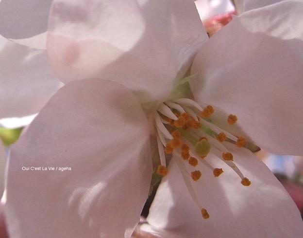 桜2012。受粉したくなるー。