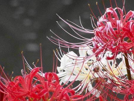 紅白の曼珠沙華