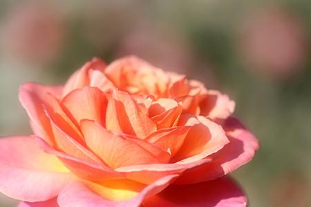 温かみ溢れるバラの花~~
