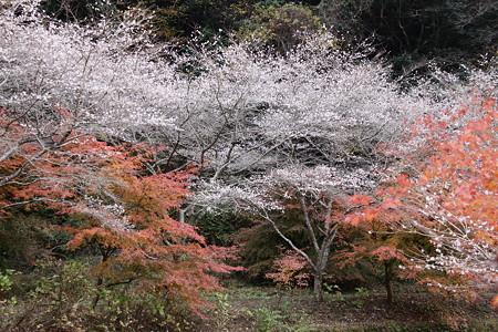 小原の四季桜7