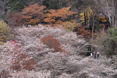 小原川見公園の四季桜