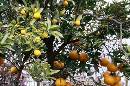 同じ木に金柑と蜜柑が~~