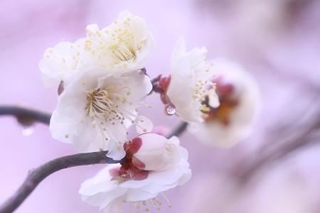 春来たりて梅花は仄かに ♪♪♪
