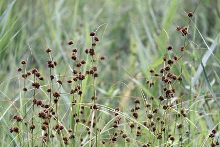 豊田市自然観察の森:シラタマホシクサ?の群生