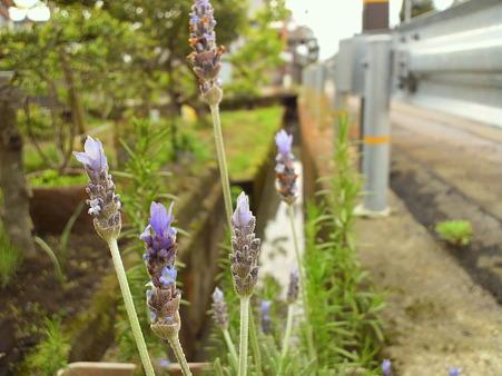 Lavender dentata