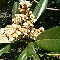 Photos: びわの花と、蜜を集める虫
