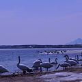 稚内大沼の白鳥