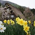 Photos: 合掌造りの春