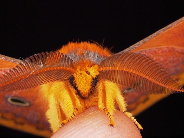 ウスタビガ本州以南亜種             Rhodinia fugax fugax (Butler, 1877).