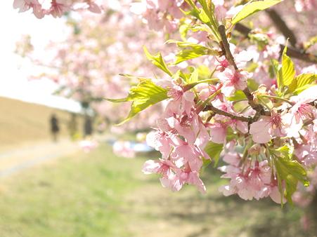 美和桜20120314_3