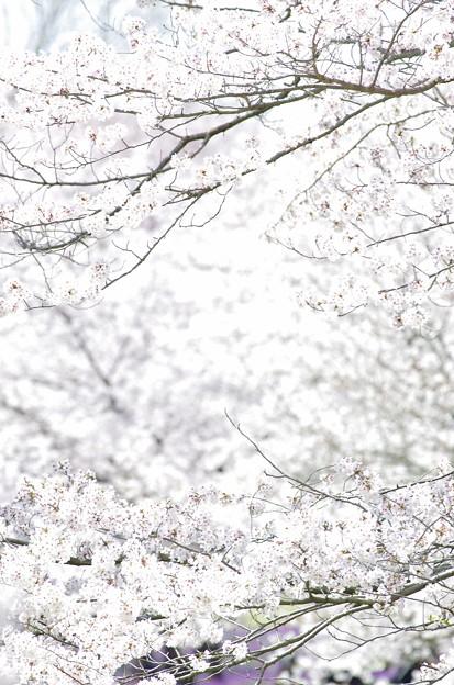 Photos: 桜雪。