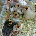 写真: 文鳥の雛。 各色入っています。